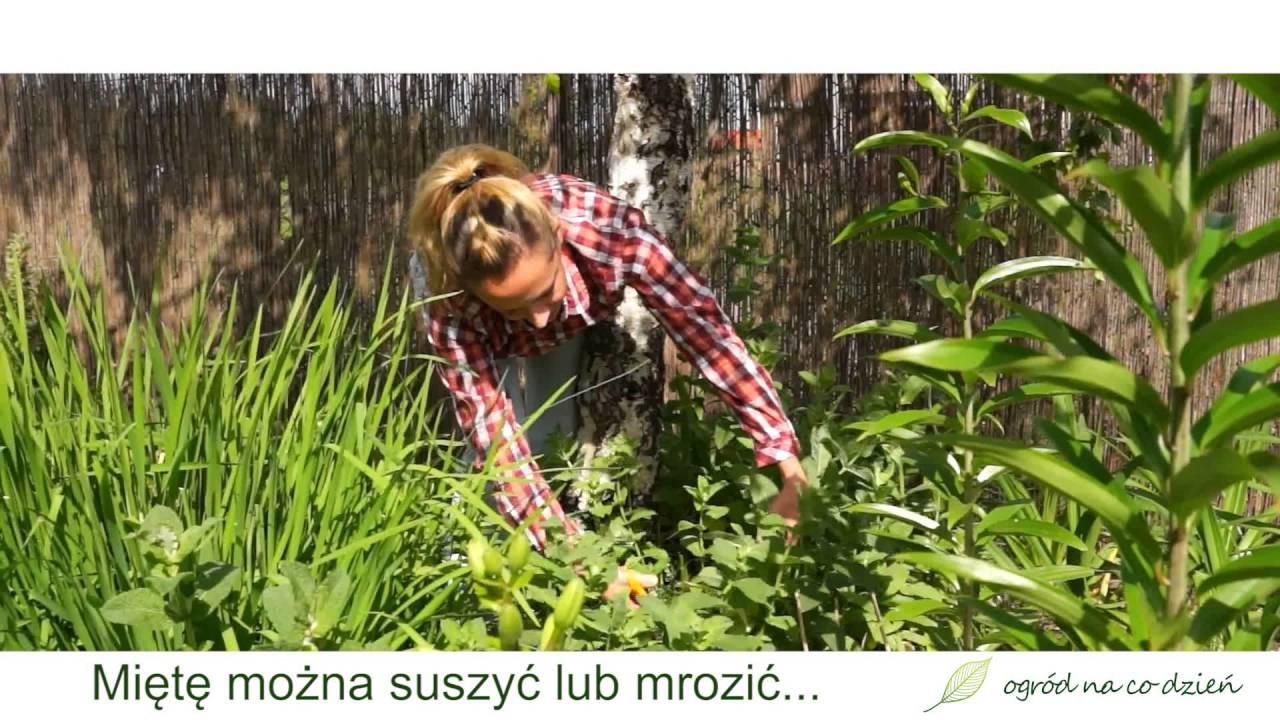 Mięta – zioła w ogrodzie