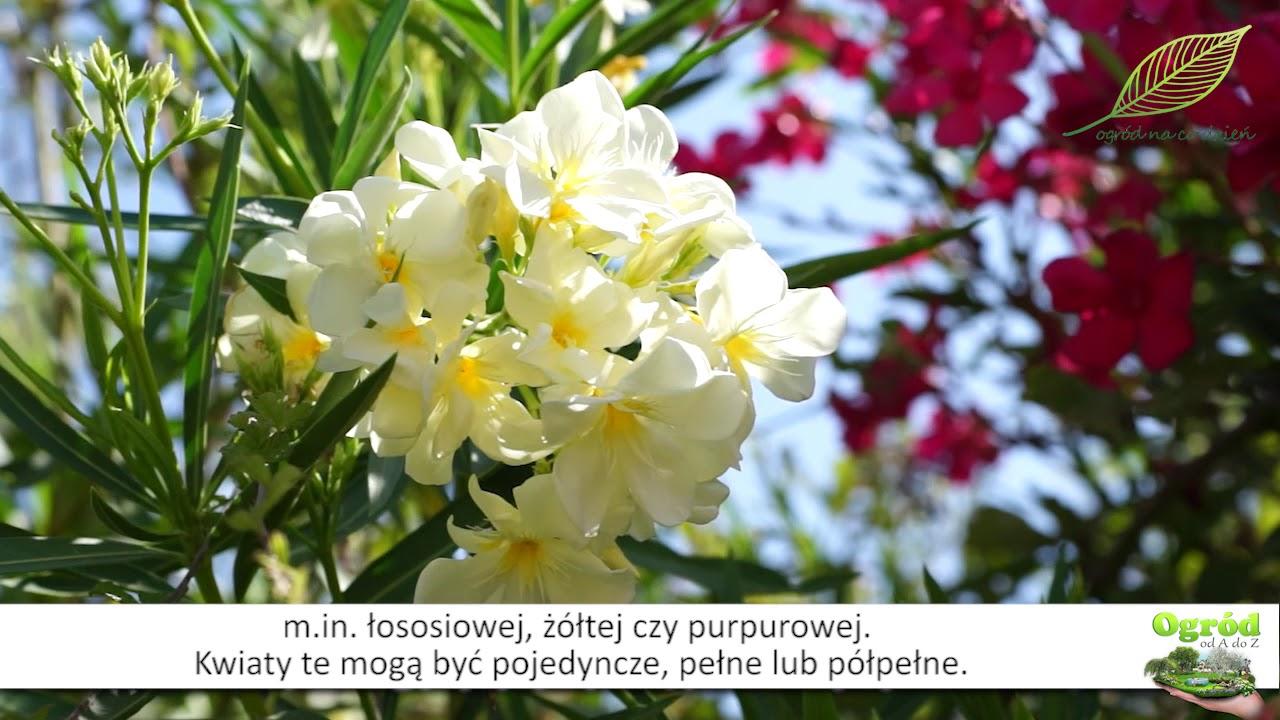 oleander, uprawa olendra, kwiaty na pełne słońce, jakie kwiaty na słońce,