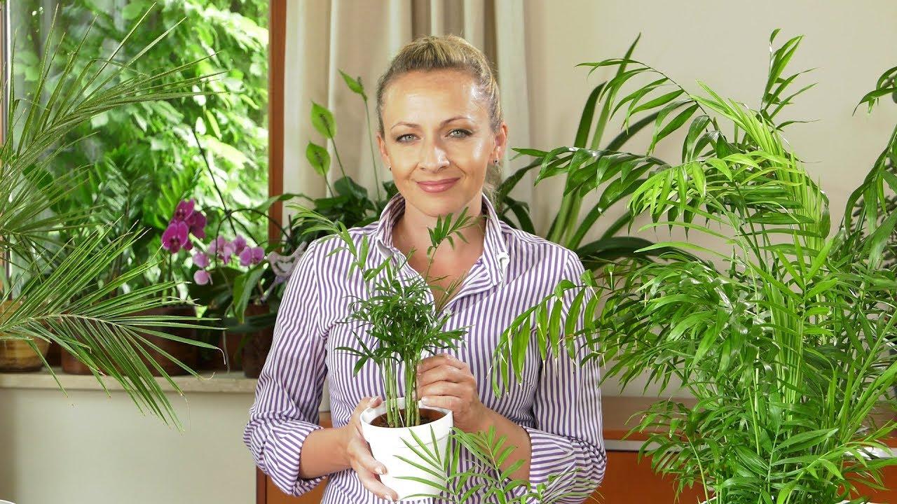 palmy, pielęgnacja palm, uprawa palm, nawożenie palm, daktylowiec, daktylowce, chamedora,