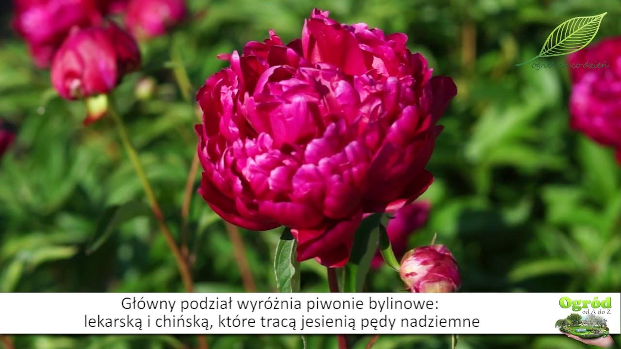 Piwonie – byliny w ogrodzie
