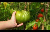 Pomidory – wysiew, uprawa i praktyczne porady