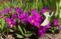 Prymule – pierwiosnki – byliny w ogrodzie