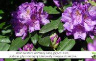 Rododendrony