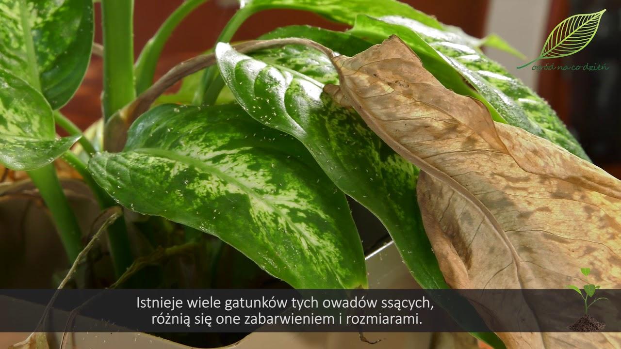 Rośliny domowe doniczkowe – problemy w pielęgnacji cz. 2