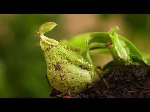 dzbanecznik, rosiczka, muchołówka, rośliny owadożerne,