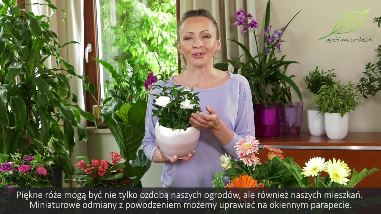 Róże, gerbery i wilczomlecze, rośliny domowe, kwiaty domowe, kwiaty doniczkowe, domowe kwiaty doniczkowe,