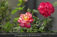 Róże w donicach na balkon i taras