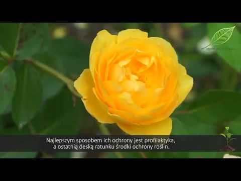 choroby róż, mączniak na róży, mszyce na różach, czarna plamistość na różach, problemy z różami, róże w ogrodzie, pielęgnacja róż