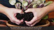 Rozmnażanie sępolii – fiołka afrykańskiego