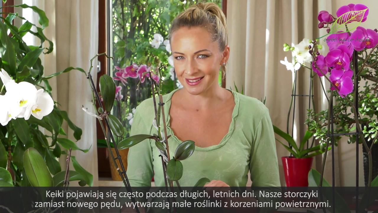 Rozmnażanie storczyków – keiki storczyka
