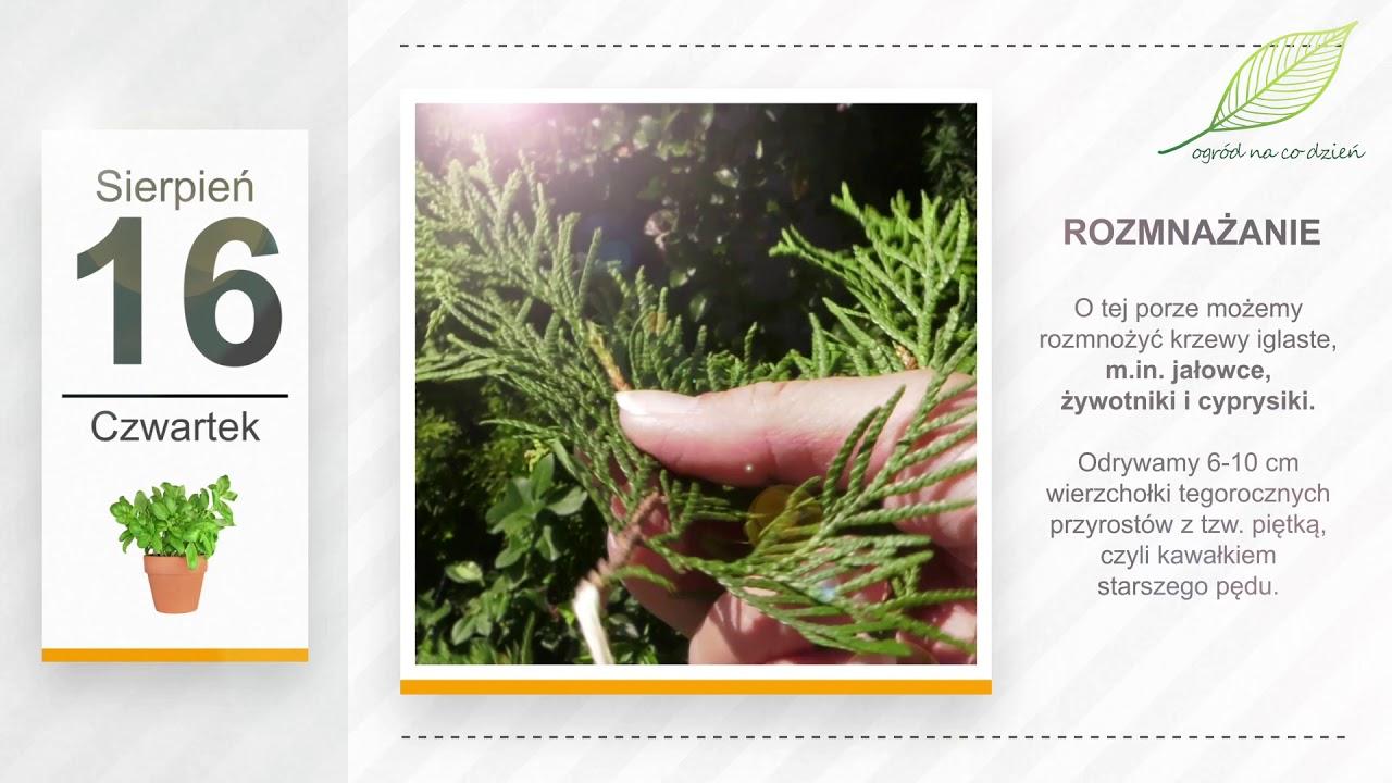 Kalendarz ogrodnika na 13.08 – 19.08 – sierpień w ogrodzie
