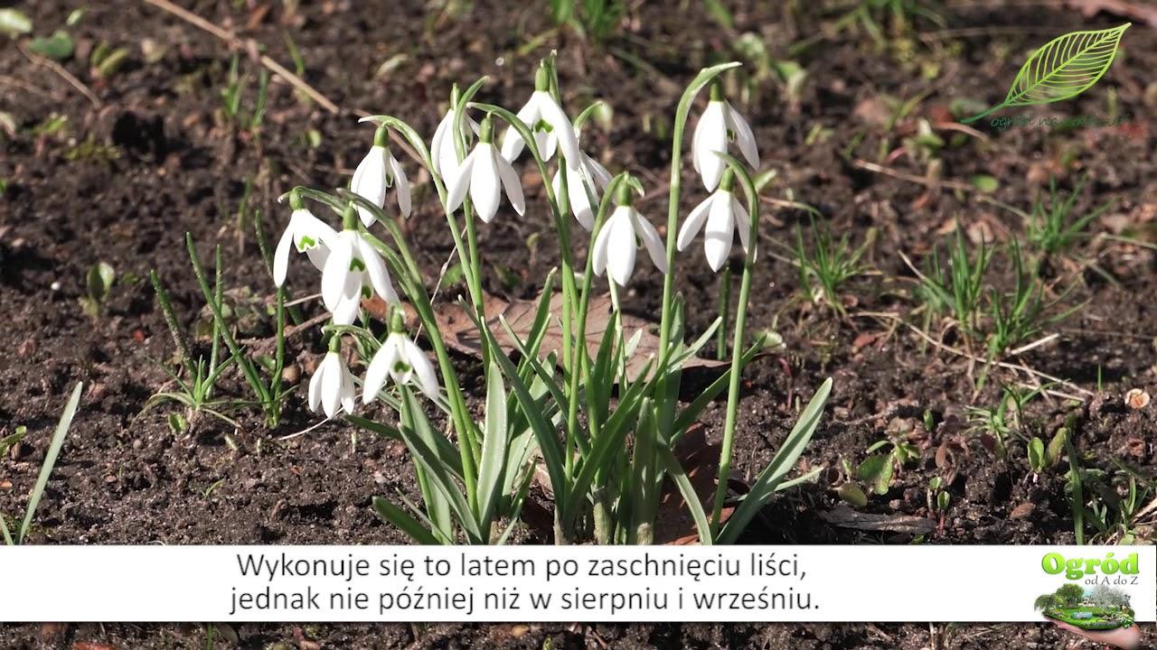 Śnieżyczka przebiśnieg, wymagania śnieżyczki przebiśnieg, nasiona, kwiaty w ogrodzie, pierwsze kwiaty w ogrodzie,
