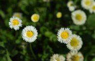 Stokrotki – kwiaty w ogrodzie