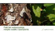 Trociniarka czerwica – problem z brzozą