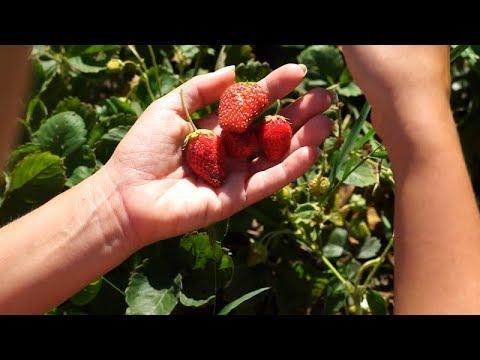wysiew truskawki, wysiew poziomki, jak wysiać truskawki, siew truskawek, własne truskawki, uprawa truskawek, pilęgnacja truskawek, nawożenie truskawek, wymagania truskawek