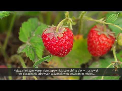 truskawki problemy, truskawki choroby, truskawki problemy w uprawie, mączniak prawdziwy na truskawce, gąsienice na truskawkach, szkodniki na truskawkach,