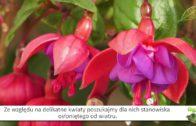 Ułanka – fuksja. Kwiaty na balkony i taras