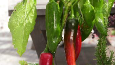 Warzywa na balkonie i tarasie