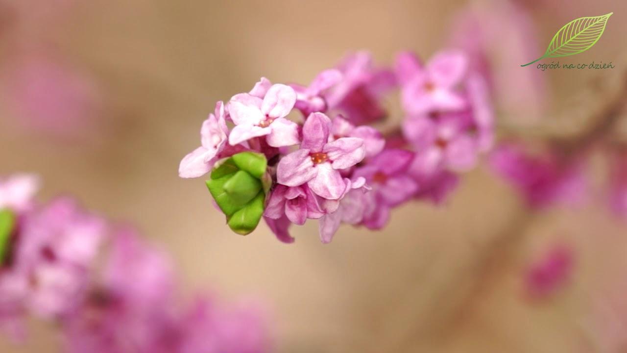 Wawrzynek – roślina trująca