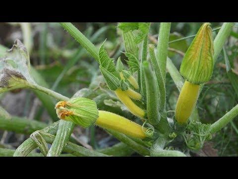 cukinie wysiew, jak wysiać cukinie, rozsady cukinii, uprawa cukinii, kiedy wysiać cukinię, jak uprawiać cukinię