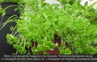 Wysiew pietruszki i uprawa w ogrodzie