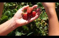 Wysiew truskawki