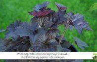 Żurawki – bylina w ogrodzie – na balkony i tarasy