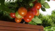 Oprysk na pomidory i warzywa na poplon po zbiorze