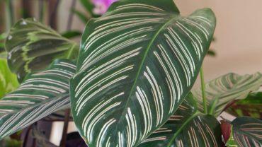 Kalatea – roślina oczyszczająca powietrze
