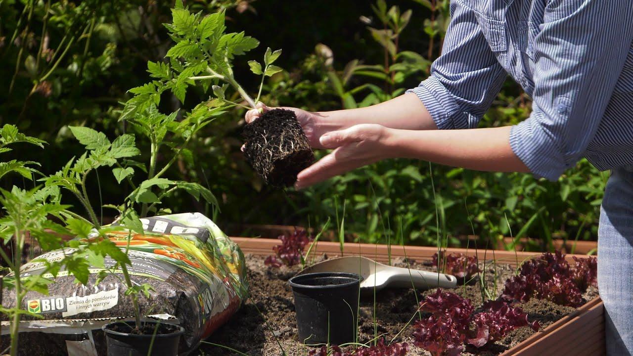 Pomidory ogórki – sadzenie. Ogród warzywny
