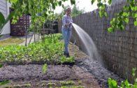 Wysiew fasolki szparagowej
