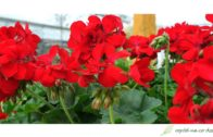 Pelargonie Champion