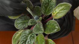 Plamy na liściach i mszyce – domowe rośliny doniczkowe