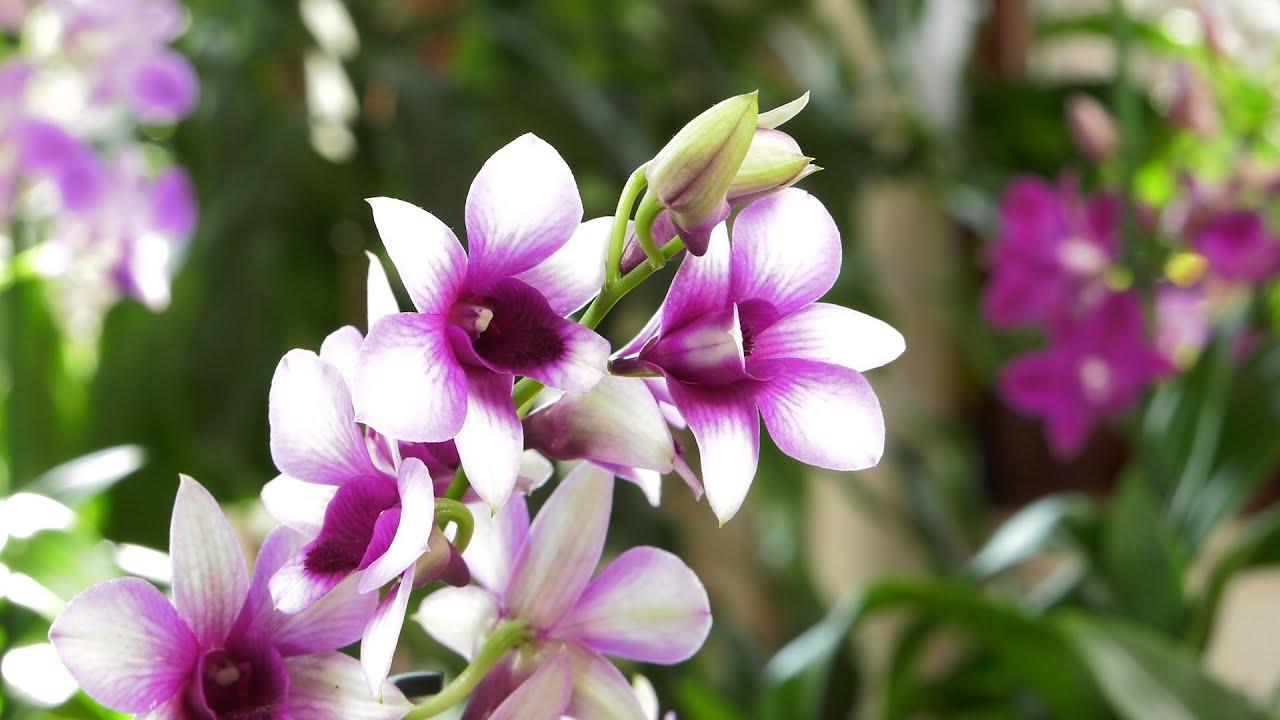 Dendrobium phalaenopsis – storczyk