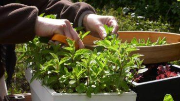 Zioła – suszenie ziół i mrożenie szpinaku