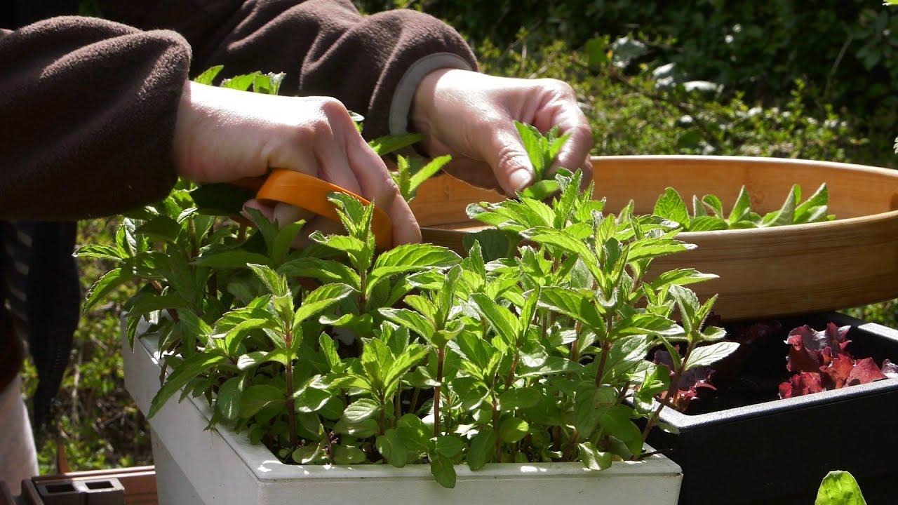 suszenie ziół, zioła, zbiór ziół do suszenia, jak suszyć zioła, prawidłowe suszenie ziół, zioła na herbatę