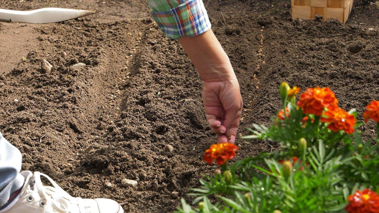 Co wysiać w lipcu na poplon? ogród warzywny