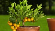 Cytrusy na balkonie i tarasie – pielęgnacja