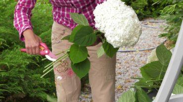 Hortensja – suszenie kwiatostanów hortensji