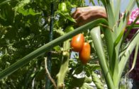 Kalendarz ogrodnika na 29.07 – 04.08