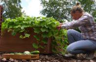 Ogórki i cukinie – uprawa ogórków i przetwory