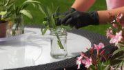 Oleander rozmnażanie