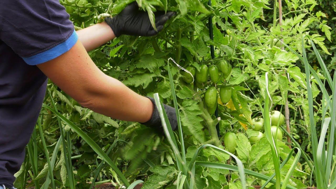 Pomidory – zabiegi lipcowe.