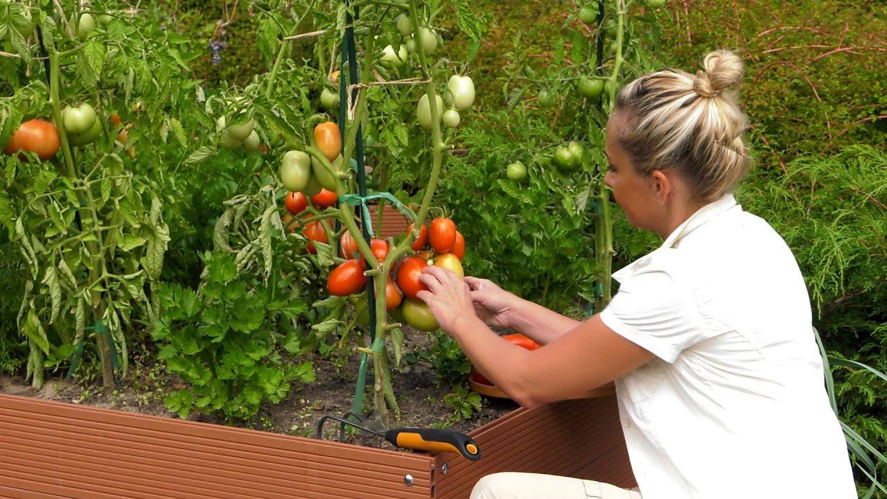 Pomidory – sierpniowa pielęgnacja