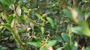 Ćma bukszpanowa – zwalczanie gąsienic na bukszpanie