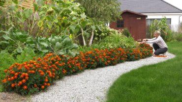 Ogród warzywny – szpinak wysiew, zbiór aksamitek na wywar i siew