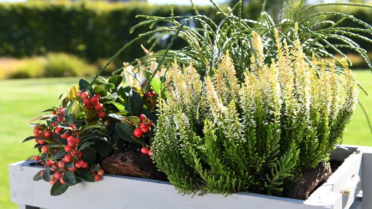 Wrzosy i kompozycje z innymi roślinami