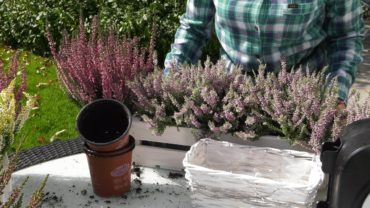 Wrzosy – Jak sadzić i pielęgnować wrzosy