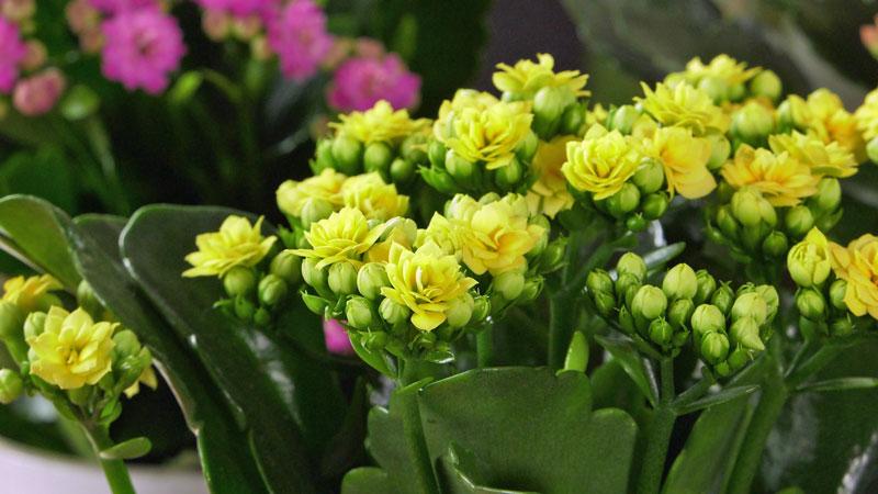 kalanchoe, uprawa kalanchoe, pielęgnacja kalanchoe, wytrzymała kwiat