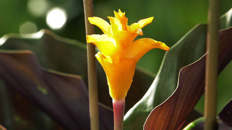 Kalatea kwitnąca – pielęgnacja
